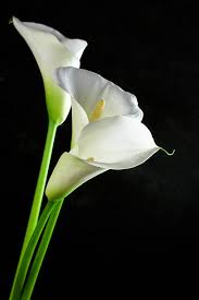 Calla Lillies Calla Lily Pictures Images And Stock Photos Istock