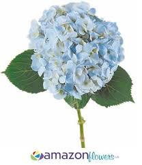wholesale hydrangeas bulk hydrangeas buy wholesale hydrangea flowers wholesale cut