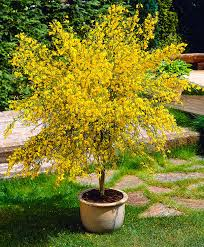 buy ornamental shrubs now common broom boskoop ruby bakker