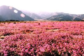 anza borrego wildflowers 南加州沙漠野花anza borrego wildflowers ahsandotcom
