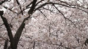 white cherry blossom white cherry blossom tree in bloom swaying in the