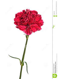 Carnation Flower Red Carnation Flower Stock Photos Image 16867563