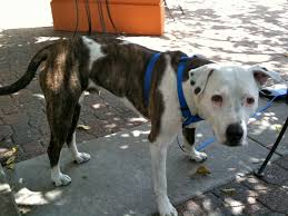 american pitbull terrier white with black spots dog of the day party pit bull the dogs of san franciscothe dogs