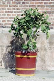 planting fig trees in pots how to care for potted fig trees
