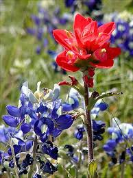 indian paintbrush flower wyoming state flower facts about indian paintbrush