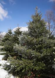 new fir varieties sprout on christmas tree farms and lots this