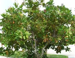 cashew tree pictures facts photos on cashew trees