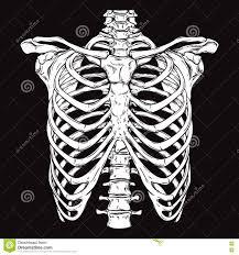 line anatomically correct human ribcage stock vector