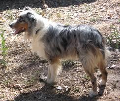 adopt a australian shepherd zia australian shepherd club adopted aussies