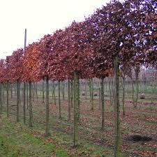 fagus sylvatica pleached beech trees pleached fagus sylvatica