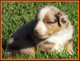 australian shepherd 4 weeks old ghost eye mini aussies avail litter 1 pup4 kate red merle male
