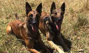 belgian shepherd dog rescue home nz malinois rescue