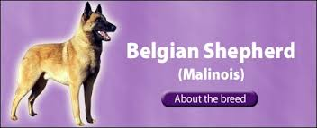 belgian shepherd for sale australia the pet directory australia dogs belgian shepherd dog malinois