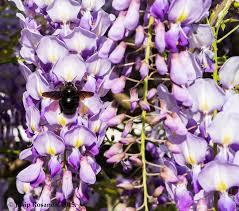 wisteria flower bug carpenter bee u2013 josip rosandić amateur