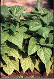 Deficiency Diseases In Plants - 1 soils and plant nutrients nc state extension publications