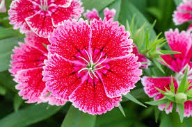 dianthus flower 6 steps for brightening your garden with colorful dianthus flowers