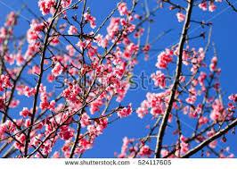 free photos flower tiger cherry blossom
