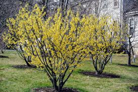 Yellow Flowering Bushes And Shrubs Blooming Witch Hazel The Martha Stewart Blog