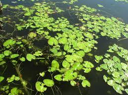 images of plants floating aquatic plants clemson university south carolina