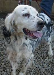 types of setter dog breeds english setter rescue association