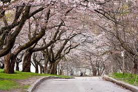 high park cherry blossoms set to bloom in early may