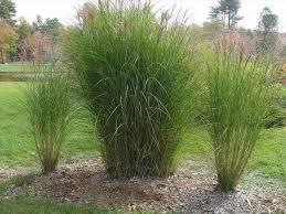 design with maiden grass ornamental garden landscape grasses