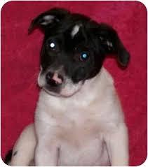american eskimo dog ireland american eskimo dog boxer mix boxer dogs mixes pinterest