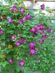 i love you u0027daniel deronda u0027 clematis but how in the hell do i