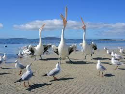 birds on beach pelicans u0026 seagulls birds pinterest bird