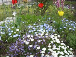 gardens in japan u201cbaby blue eyes u201d nemophila nature in japan