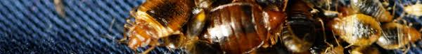 How Often Do Bed Bugs Reproduce Bed Bug Mating Behavior How Do Bed Bugs Reproduce