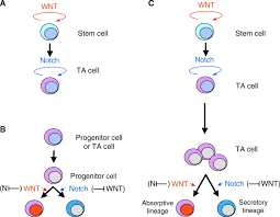 wnt notch signalling and information processing during development