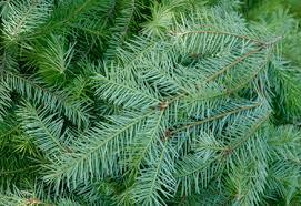 douglas fir christmas tree douglas fir christmas tree 6 7 the gardens i tulare ca
