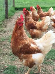 Backyard Chickens Magazine 85 Best The Barnyard Images On Pinterest Keeping Chickens