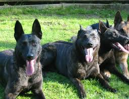belgian malinois import pup for sale best 25 dutch shepherd breeders ideas on pinterest black german