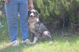 australian shepherd price pincie creek australian shepherds available dogs