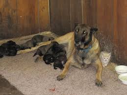 belgian sheepdog and cats belgian shepherd dog adopts kitten life with cats
