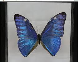 Butterfly Office Decor Morpho Sulkowski Etsy