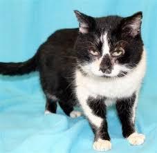 detroit short hair cat for adoption ebony near detroit mi petfinder