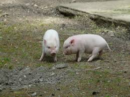 free images farm sweet cute agriculture fauna piglet pigs