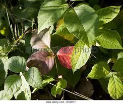 poison ivy warning stock photos u0026 poison ivy warning stock images