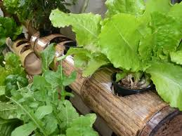 Hydroponics Vegetable Gardening by Hydroponic Growing System Constructed Of Bamboo And Coconuts