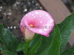 cala lilly samur calla flower store
