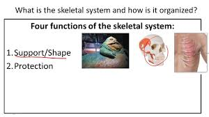 skeletal system ck 12 foundation