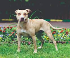 american pit bull terrier registry american pit bull terrier dog breed information continental