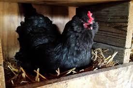 raising backyard chickens for eggs a beginner u0027s guide farmers
