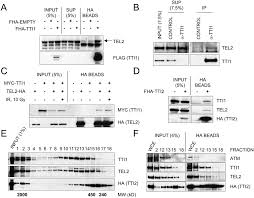 Flag Complex A Genetic Screen Identifies The Triple T Complex Required For Dna