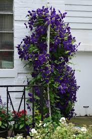 how to get bountiful clematis blooms u2013 gardeninacity
