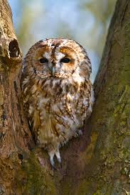 owl in tree stock photos image 19015283
