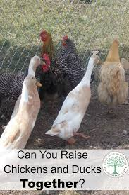 can chickens and ducks live together in the same coop or barn